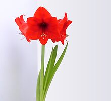 Red Amaryllis Flower #01 by VMDolphin