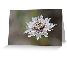 White Scabiosa (Pincushion) Flower Head Greeting Card