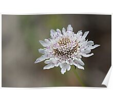 White Scabiosa (Pincushion) Flower Head Poster