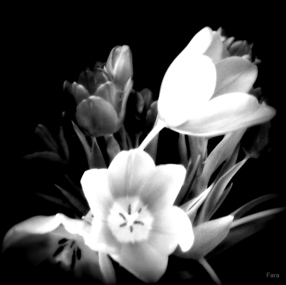 Tulips In White by Fara