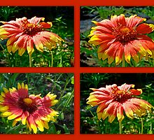 Blanket Flower - Gaillardia - v. Fanfare by MotherNature