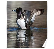 Ring-necked Duck Drake: A Big Stretch Poster