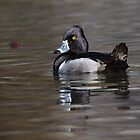 Ring-necked Duck Drake: My Element by John Williams
