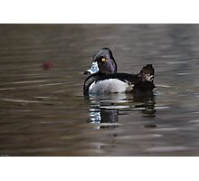 Ring-necked Duck Drake: My Element Photographic Print