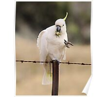 Game of Mineshaft , Sulphure Crested Cockatoo with Thistle Poster