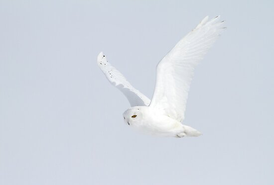 White Flight/ Snowy Owl by Gary Fairhead
