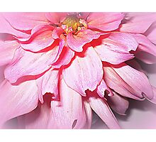 Lovely Pink Petals of the Dahlia Photographic Print