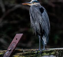 Blue Heron in Miners Bay by toby snelgrove  IPA
