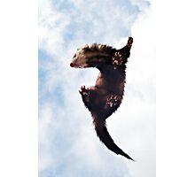 Flying Ferret Photographic Print