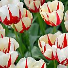 Red-white tulips by Arie Koene
