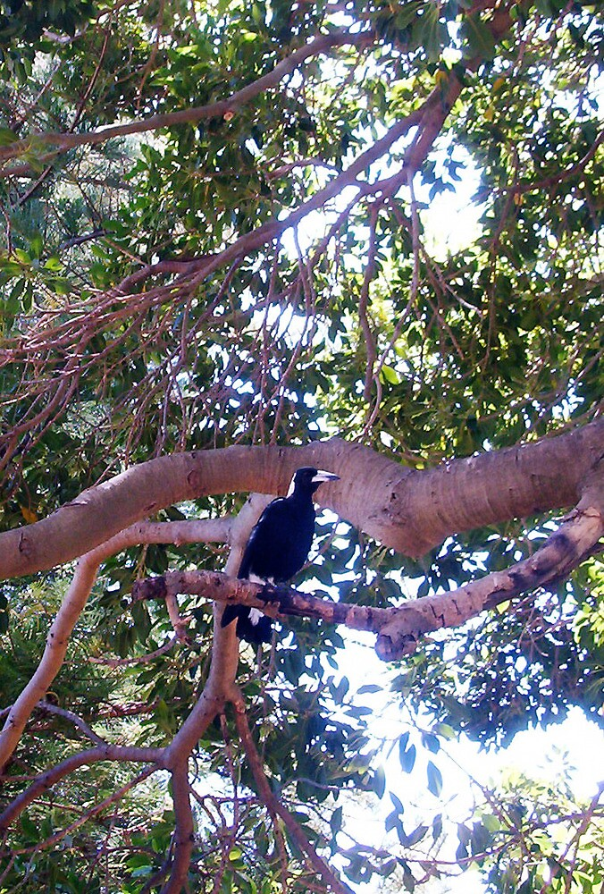 Magpie  -  25 01 13 by Robert Phillips