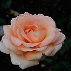 Lolita Hybrid Tea Rose by DebbyScott