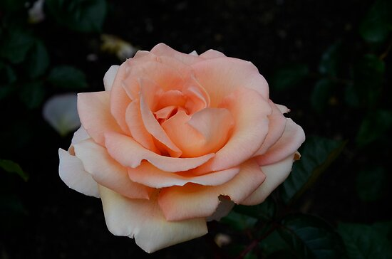 Lolita Hybrid Tea Rose by DebbyScott
