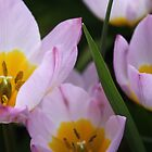 Lovely light purple tulip flowers.   by naturematters