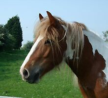 brown and white cob by paulamarie64