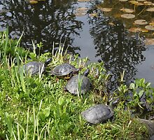Turtles by the pond, summer time in Van Dusen Garden Vancouver.  Nature photography. by naturematters