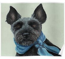 Miniature Schnauzer with a blue scarf Poster