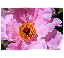 Perfect Pink Peony Poster