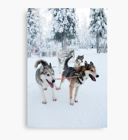 Huskies away Canvas Print