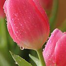 Spring Tulips by Lynn Gedeon