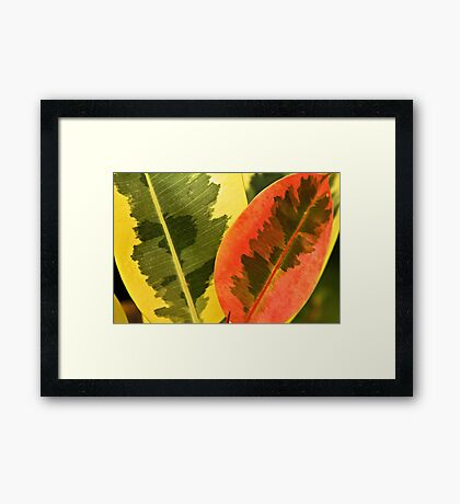 Rubber tree leaf Framed Print