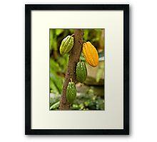 Theobroma cacao Framed Print