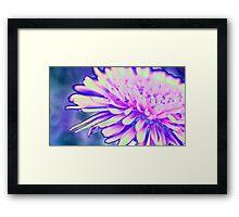 A Pink Dandelion Framed Print