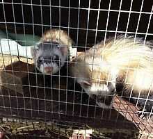 Polecat in hutch  by smithfield1234