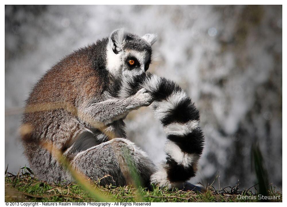 Ring-Tailed Lemur 2013 by Dennis Stewart