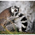 Ring-Tailed Lemur 2013 by Dennis Stewart