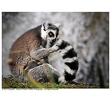 Ring-Tailed Lemur 2013 Photographic Print
