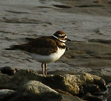 A Quiet Killdeer by fototaker