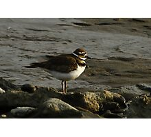 A Quiet Killdeer Photographic Print