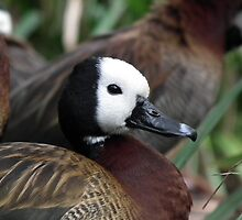 White Faced Whistling Duck by Hannah Saveall