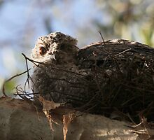 Baby Frogmouth by byronbackyard