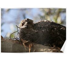 Baby Frogmouth Poster