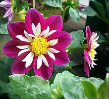 Purple Dahlia Flower by EleaTiri