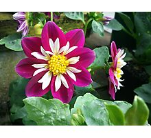 Purple Dahlia Flower Photographic Print