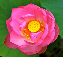 Water Lily by Marshall Thurlow