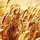 Corn by Falko Follert