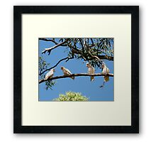 'HEY! YOURE FACING THE WRONG WAY!' Long Billed Corella's.  Framed Print