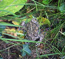 Common Toad by krisgiebeler