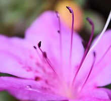 North Carolina Azalea by aprilann
