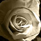 white rose by studenna