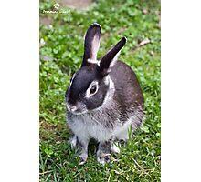 Cute Silver Marten Rabbit  Photographic Print