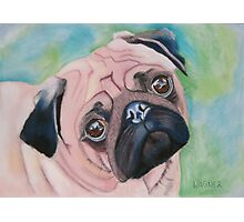 Irresistible looking Mops Photographic Print