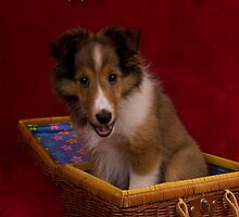 Birthday Sheltie Puppy by jkartlife