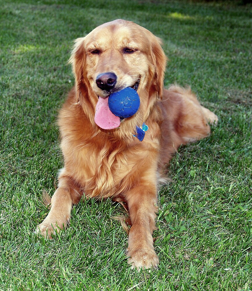 Shelby...my ball obsessed Golden Retriever by vette