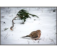 Mourning Dove in Snow Photographic Print