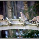 Morning Visit From Mourning Doves by Mikell Herrick
